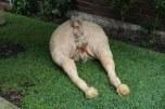 Francesca Heinz 2 Horse Arses 2013-14 Latex, hair